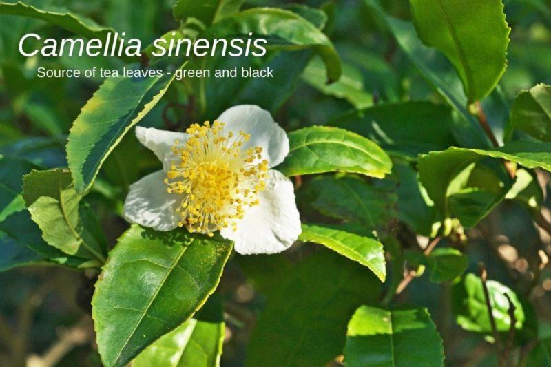 How to make green tea, Camellia sinensis_tea leaves